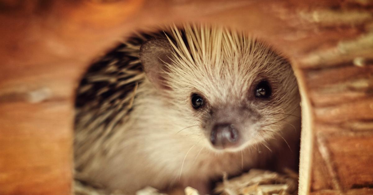 hedgehog cost