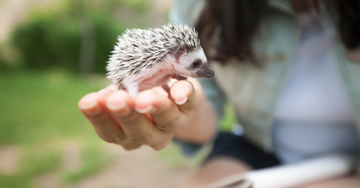 Hedgehogs are good pets