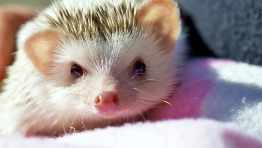 hedgehog teeth