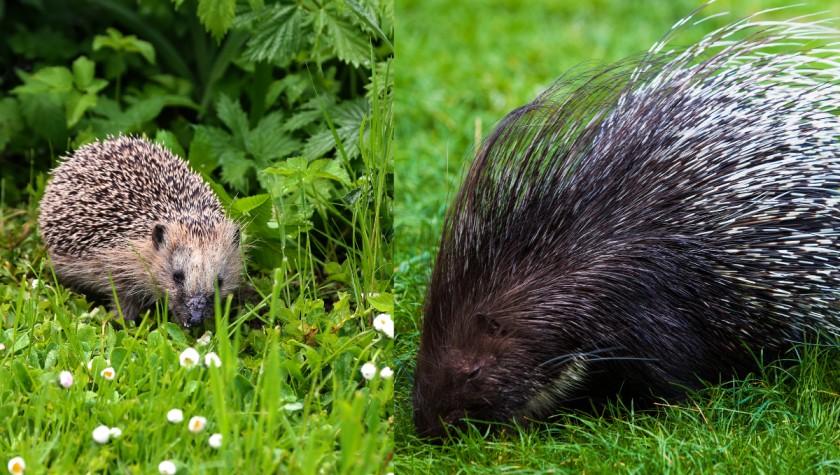 Hedgehog vs Porcupine