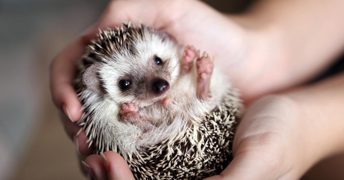 Hedgehog Penis